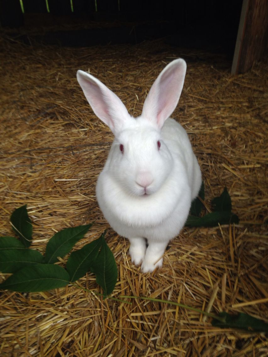 Bobbie Nz White Rabbit Rabbit Breeds Pet Rabbit Raising