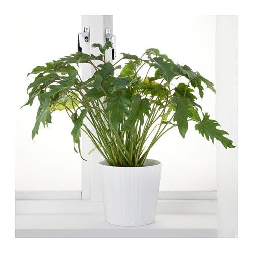 philodendron xanadu plante ikea potteplanter. Black Bedroom Furniture Sets. Home Design Ideas