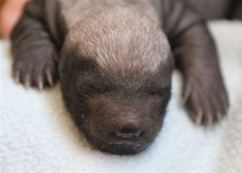 Cute Baby Honey Badger