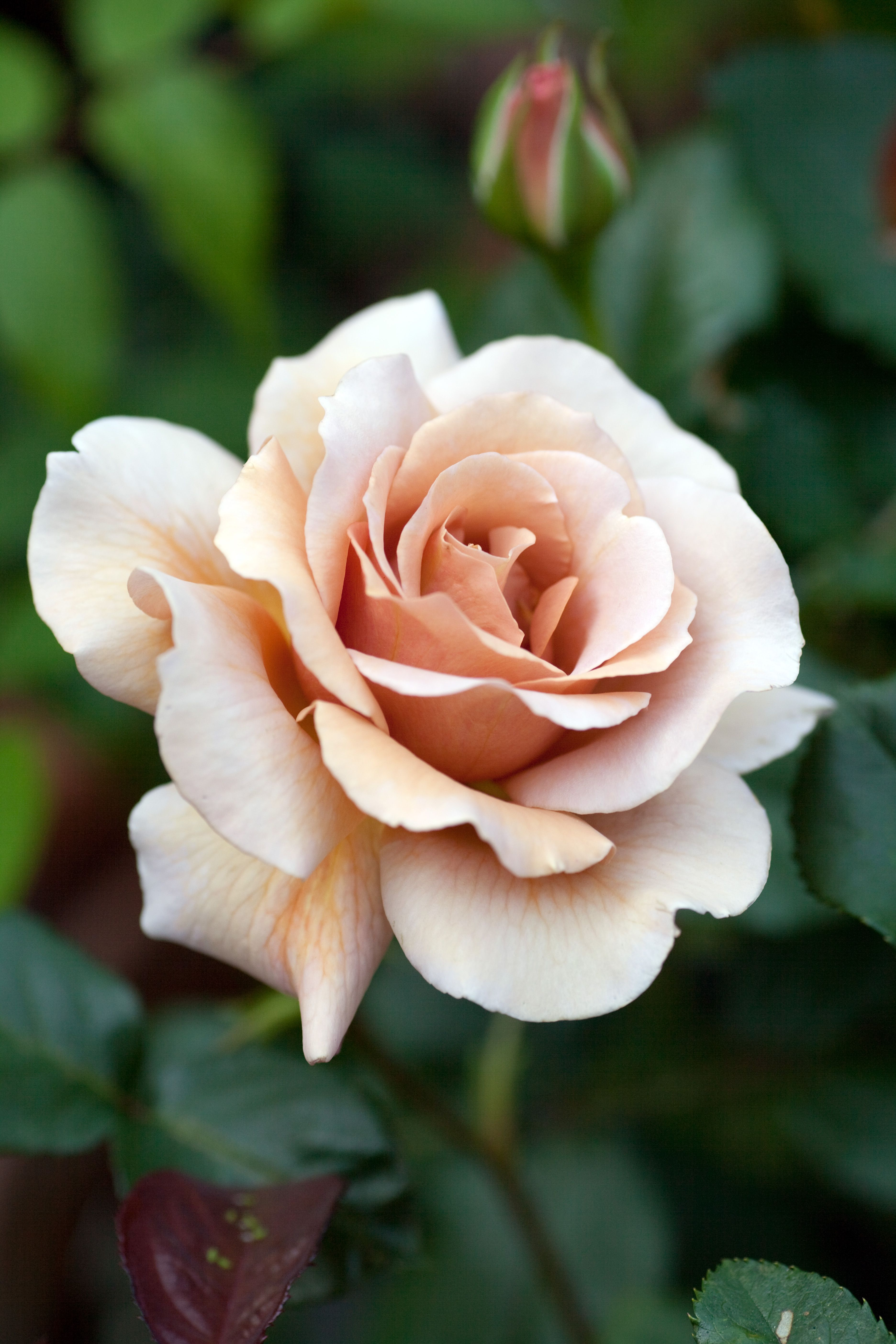 Hybrid Tea Rose: Rosa 'Julia's Rose' AKA 'Chocolate Rose' (U.K. ...