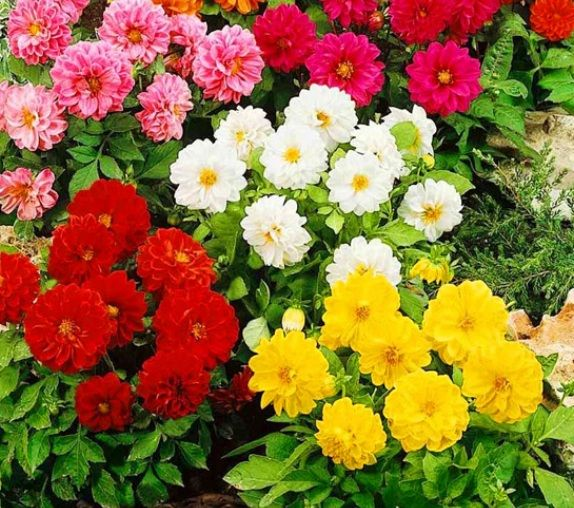cara menanam bunga dahlia dari biji http bibitbunga com blog