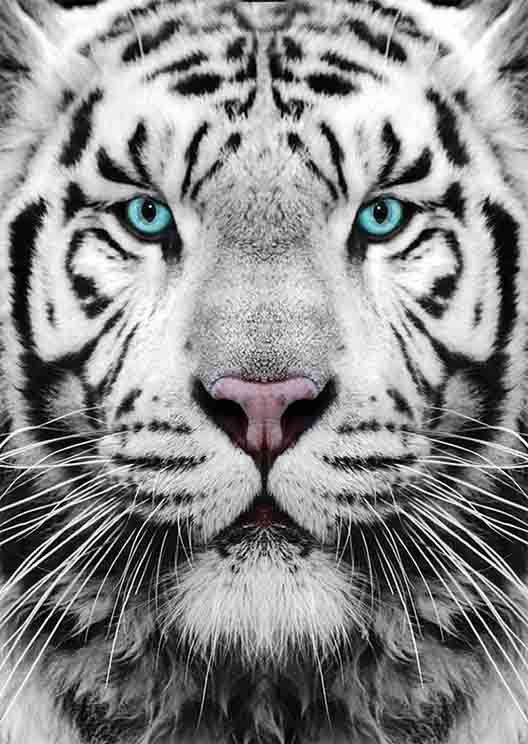Puzzle Tigre De Siberie Gold Puzzle 61512 1000 Pieces Puzzles Animaux Sauvages Planet Puzzles Yeux De Tigre Tigre De Siberie Tatouage De Tigre Blanc