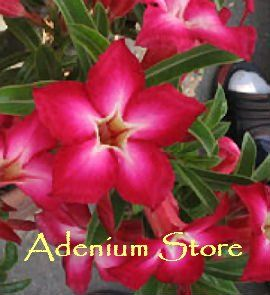 Adenium Obesum 'Kae Prakai' x 5 Seeds
