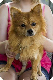 Baton Rouge La Pomeranian Meet Andy A Dog For Adoption Http Www Adoptapet Com Pet 13335412 Baton Rouge Louisiana Pomeranian Dog Adoption