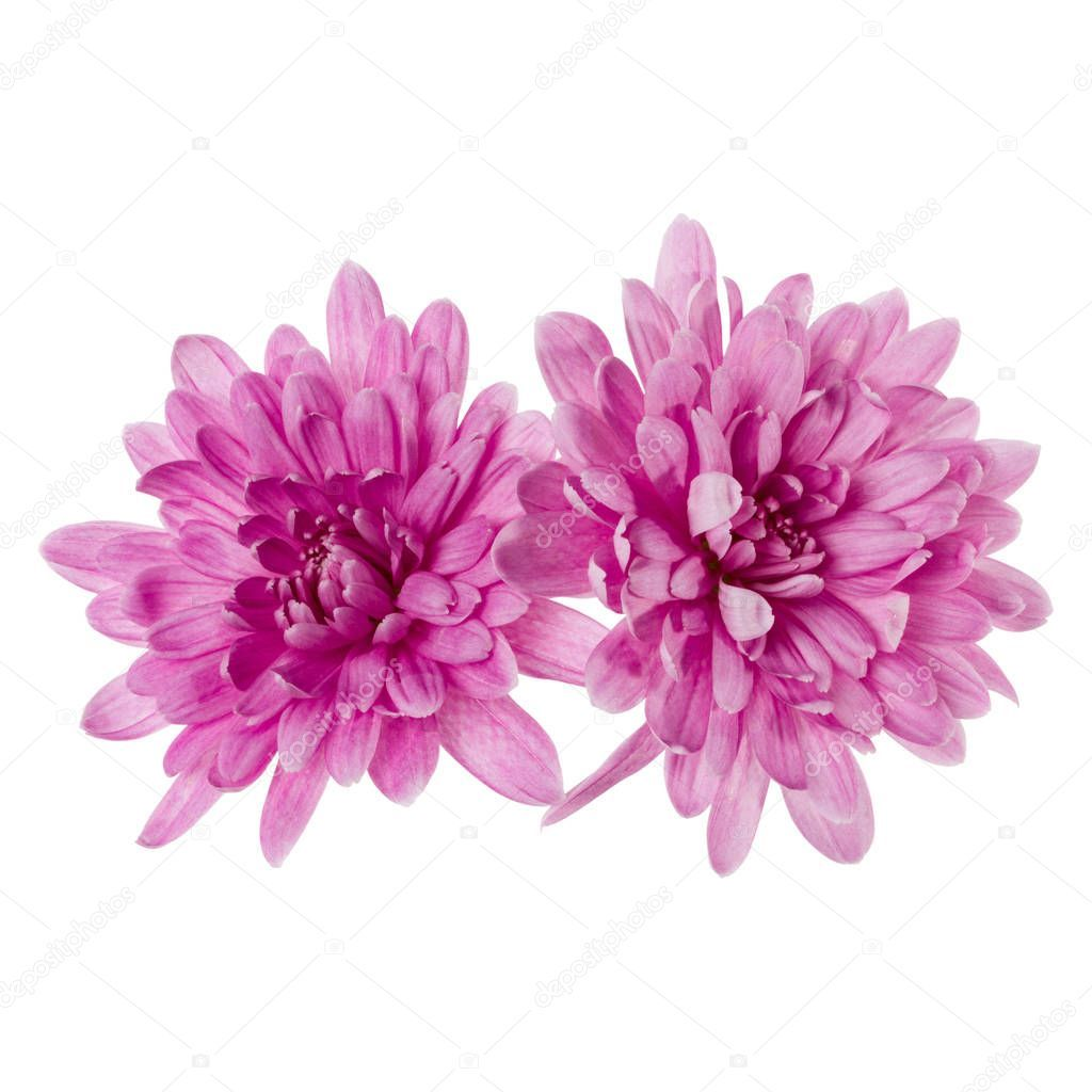 Two Chrysanthemum Flower Heads Isolated On White Background Clos Stock Affiliate Heads Isolated Chrysanth Chrysanthemum Flower Chrysanthemum Flowers