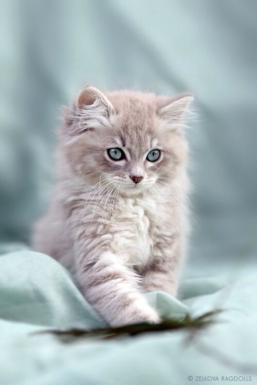 Beautiful Kitty With Blue Eyes Kittens Cutest Cute Cats Baby Animals