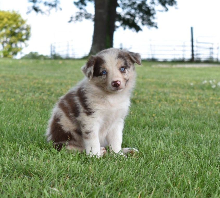 Gorgeous And Playful Red Merle Female Border Collie Puppy With Blue