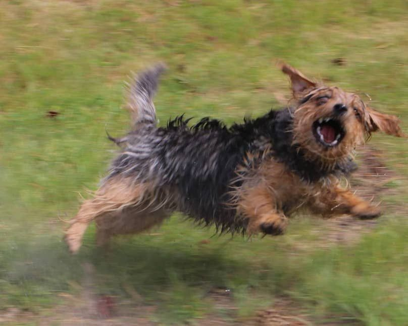 Norfolk Terrier Breed Information Guide Quirks Pictures