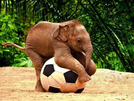 Baby Elephant Elephants Playing Cute Animals Baby Elephants Playing