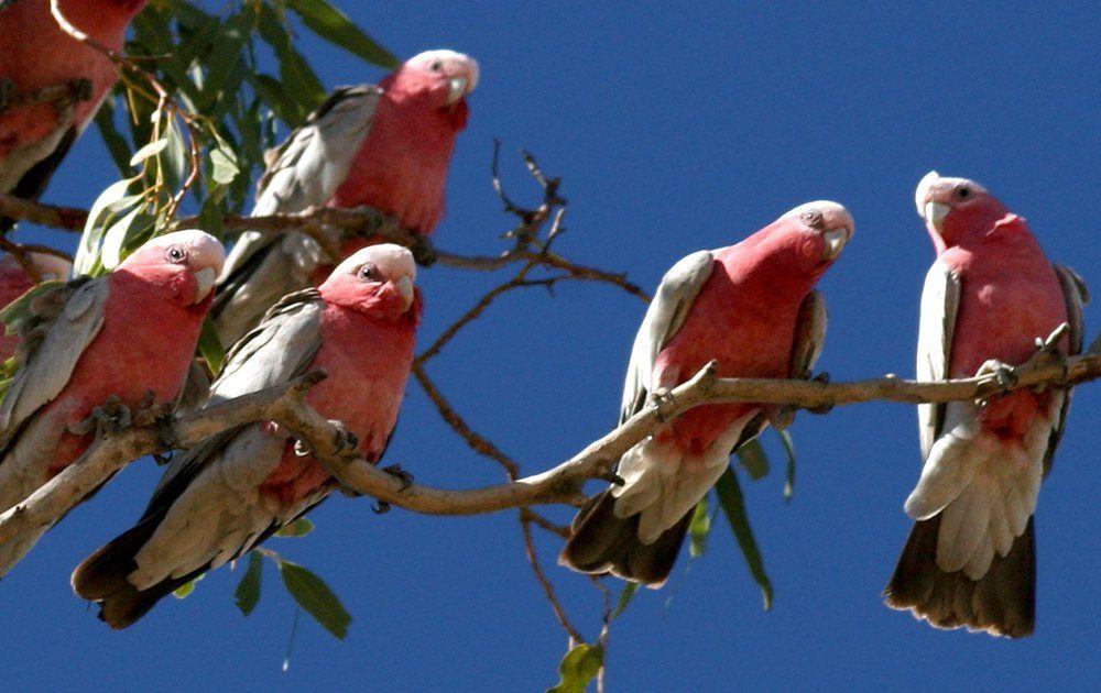 A flock of Galahs, Australia Australian birds, Tropical