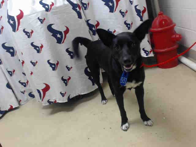 This Dog Id A466543 Urgent Harris County Animal Shelter In Houston Texas Adopt Or Foster 2 Year Old Male German Animal Shelter Animals Dog Adoption