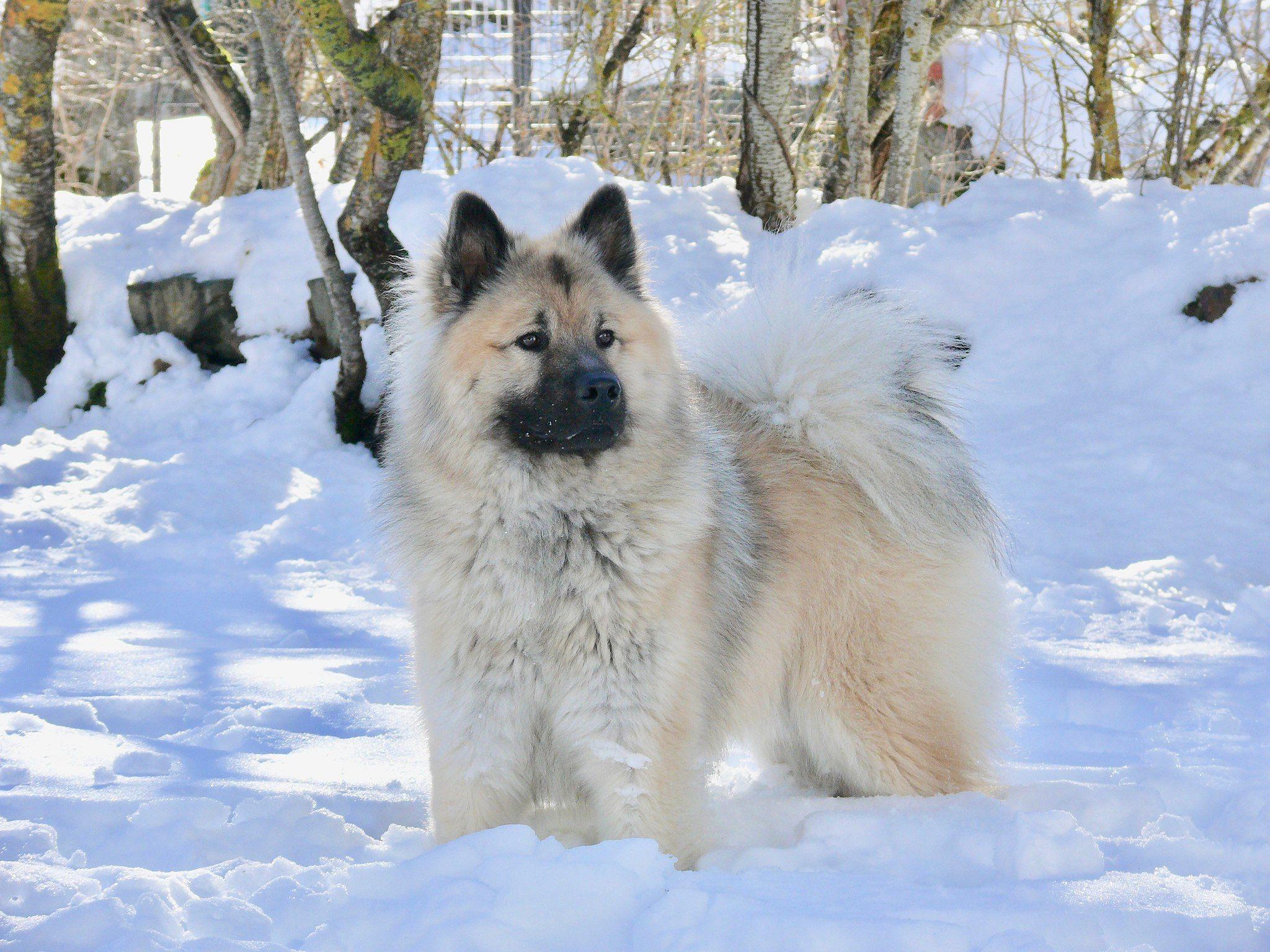 Eurasier Mit Bildern Hunde Bilder Motten In Der Kuche