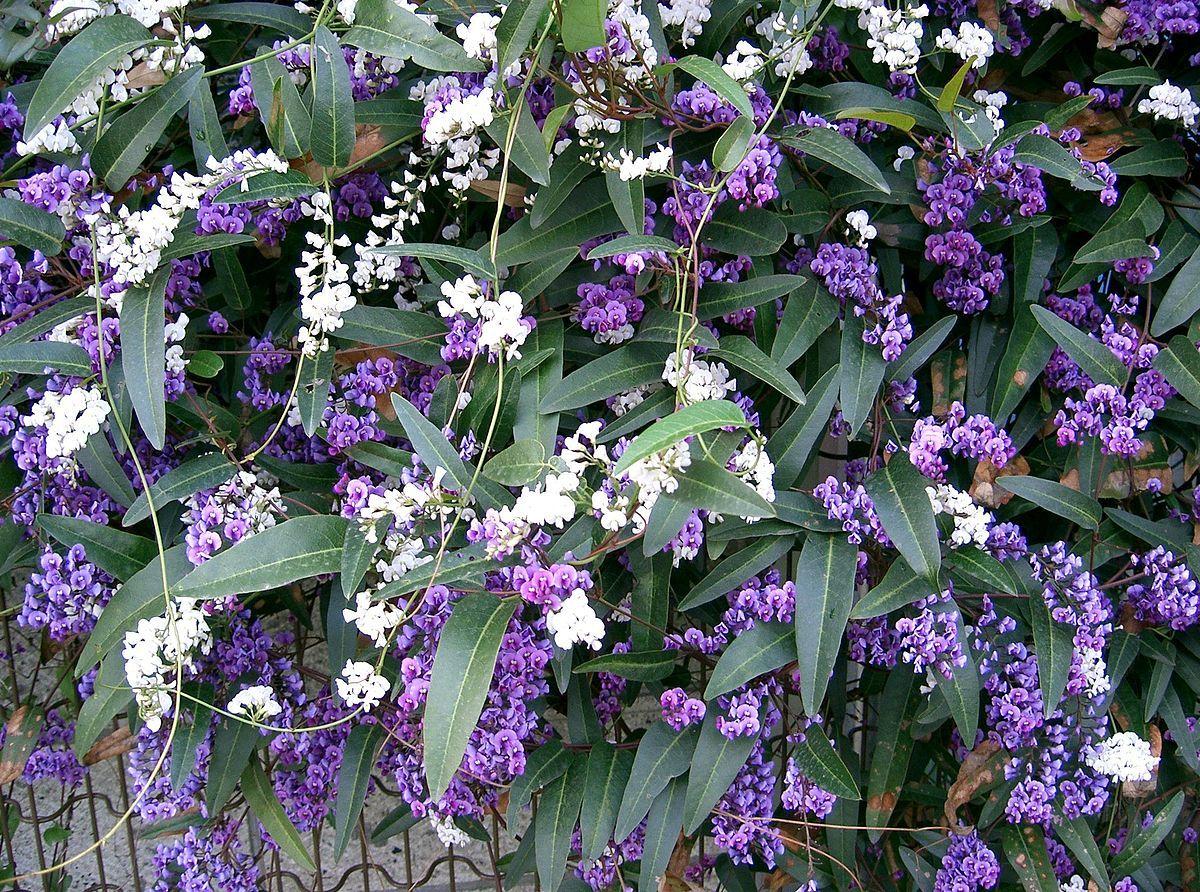 Hardenbergia Violacea Wikipedia Plants