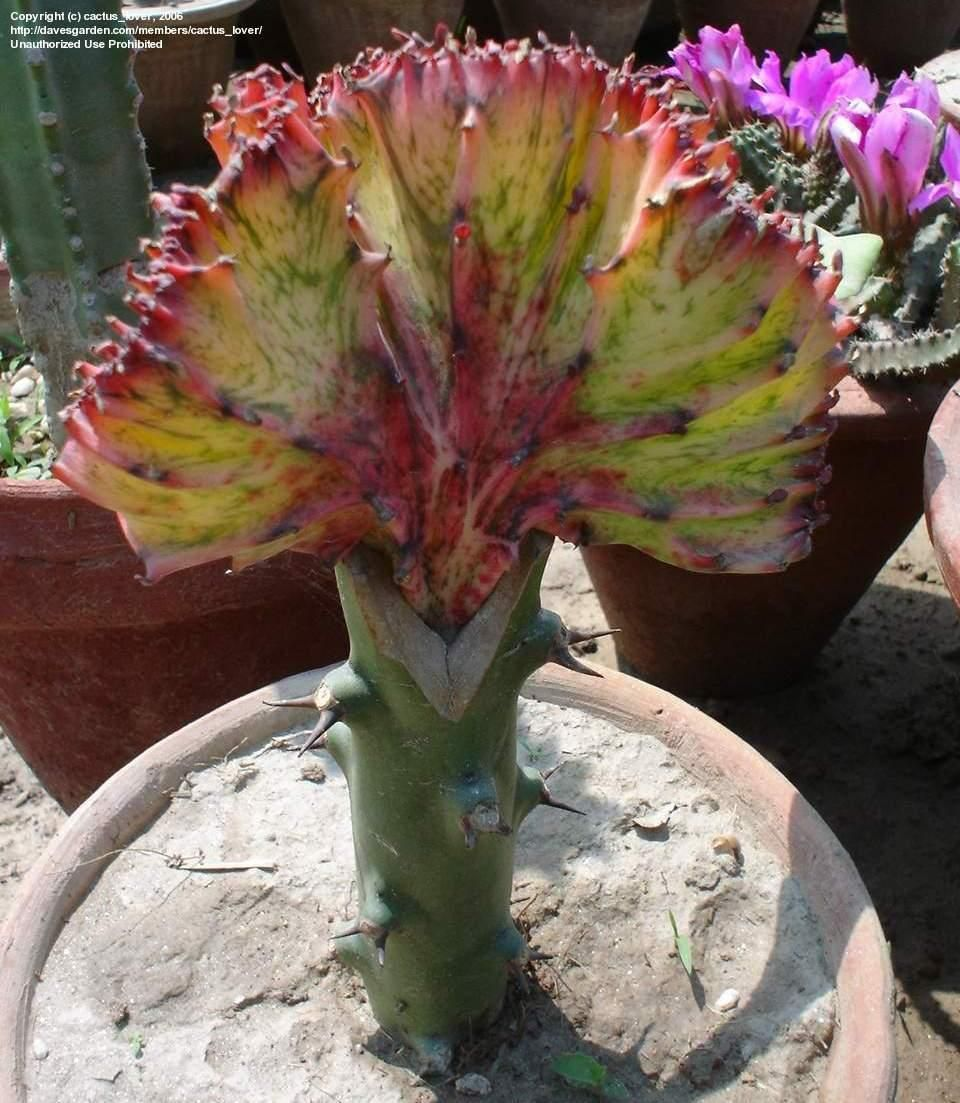 Plantfiles Pictures Candelabra Plant False Cactus Dragon Bones Elkhorn Red Euphorbia Lactea 1 By Cactus Lover Euphorbia Plants Dragon Bones