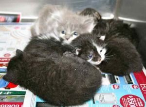 More Kittens Galore is an adoptable Domestic Short Hair