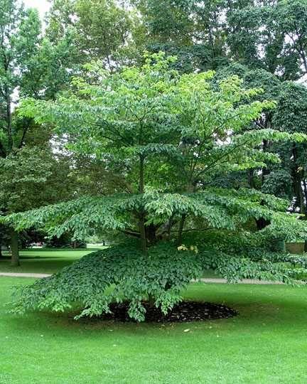 cornus alternifolia plantes d
