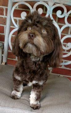 Havanese puppy for sale in WINSTON SALEM, NC  ADN-51017 on