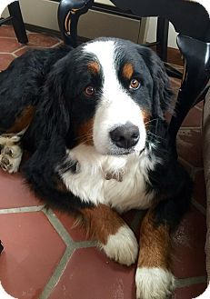 Naperville Il Bernese Mountain Dog Meet Jess A Dog For