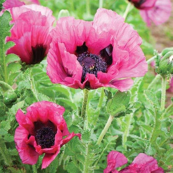 Oriental Poppy Blumensamen Mohnblume Blumen