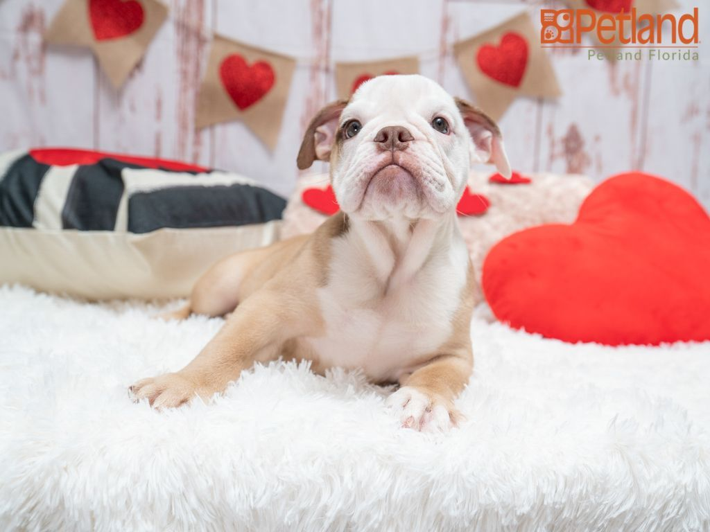 Puppies For Sale English Bulldog Puppies Bulldog Puppies For Sale Bulldog Puppies