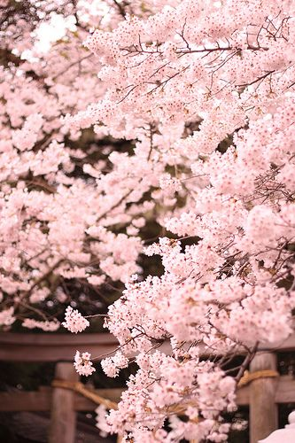 What Is The Meaning Of Cherry Blossom Flowers Cherry Blossom Symbolism Cherry Blossom Flowers Blossom Tree Tattoo