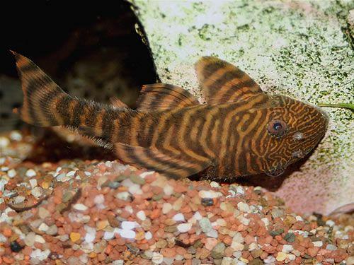L002 Tiger Panaque Pleco Tropical Fish Water Life Fish