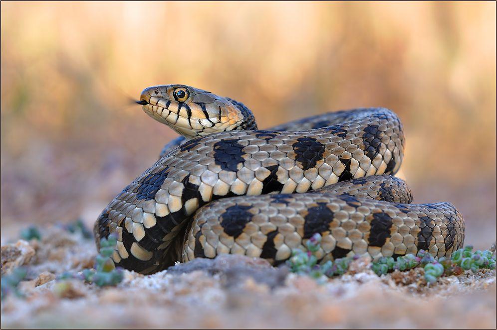 Die Seltenste Schlange Europas Von M Gebel Schlange Giftige Schlangen Amphibien
