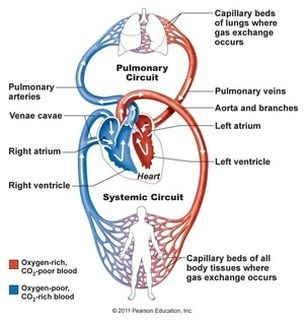 diagrams of lymphatic circulatory system - Google Search ...