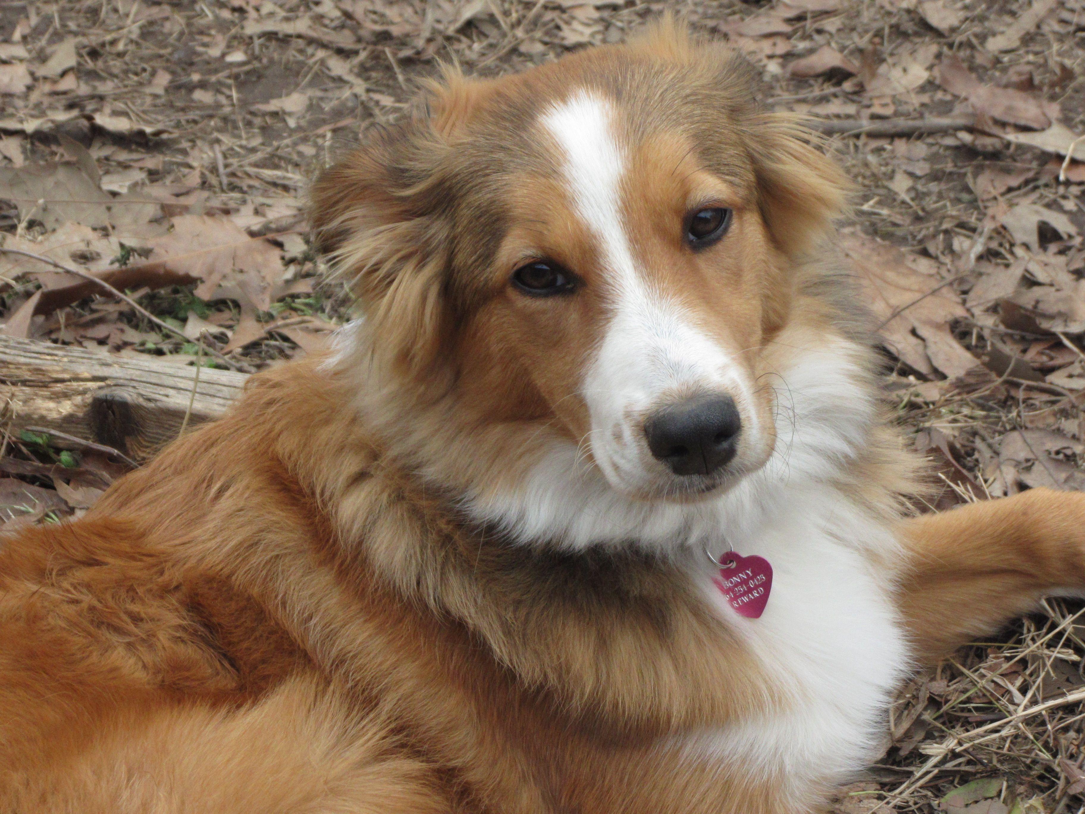 My BonnyEnglish Shepherd Beautiful dogs, Collie breeds