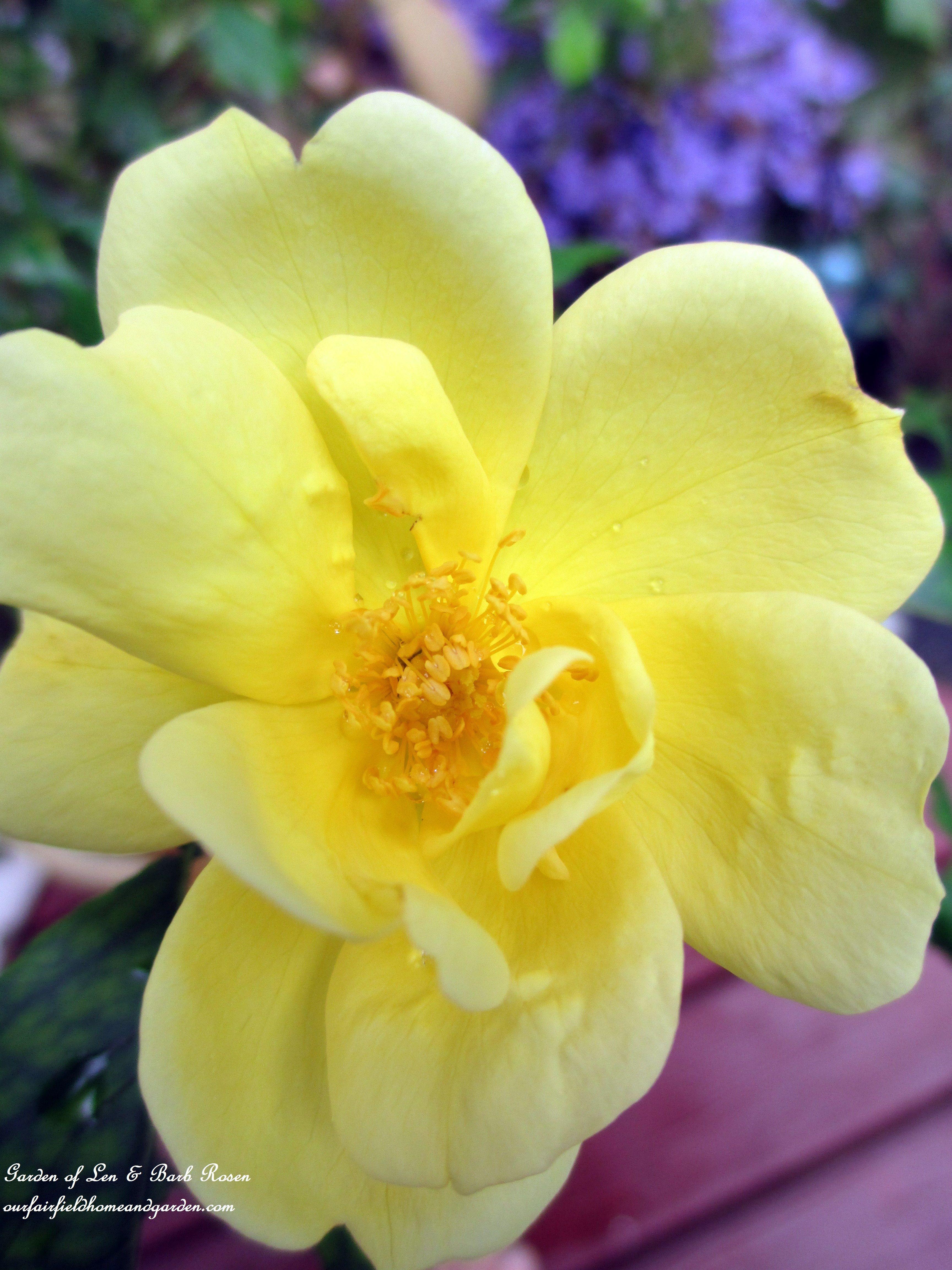 Yellow Knockout Rose (Garden of Len & Barb Rosen) #knockoutrosen Yellow Knockout Rose (Garden of Len & Barb Rosen) #knockoutrosen