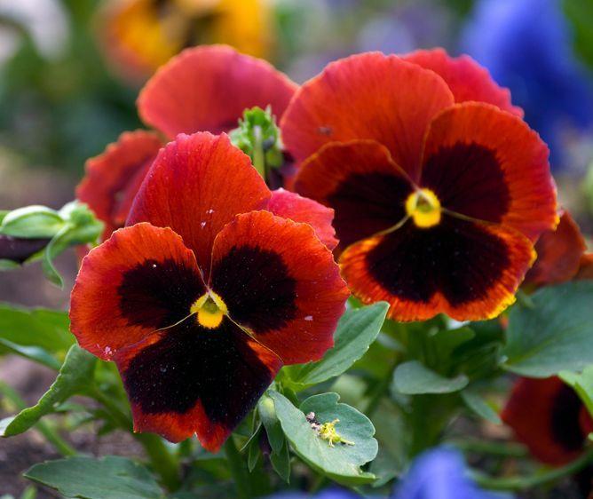 Pansies Flowers Flowers Perennials Pansies