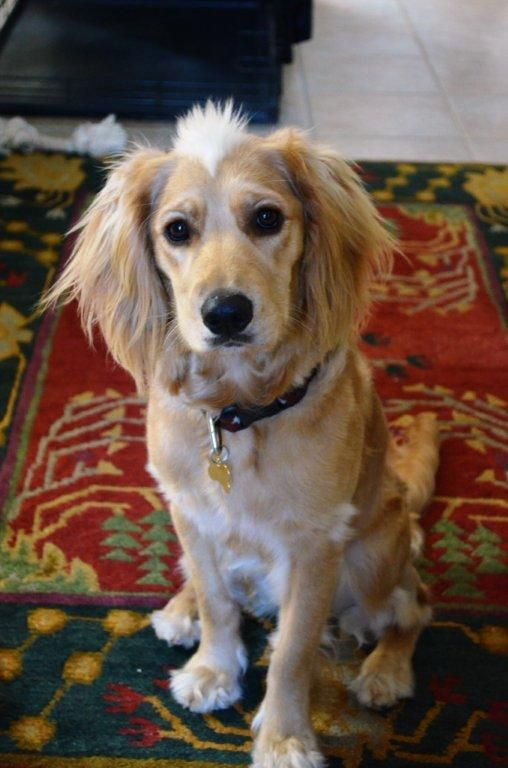 Dottie Southern California Golden Retriever Rescue I Love This Dog Lookit Her Awesome Mohawk And Her F Golden Retriever Rescue Golden Retriever Retriever