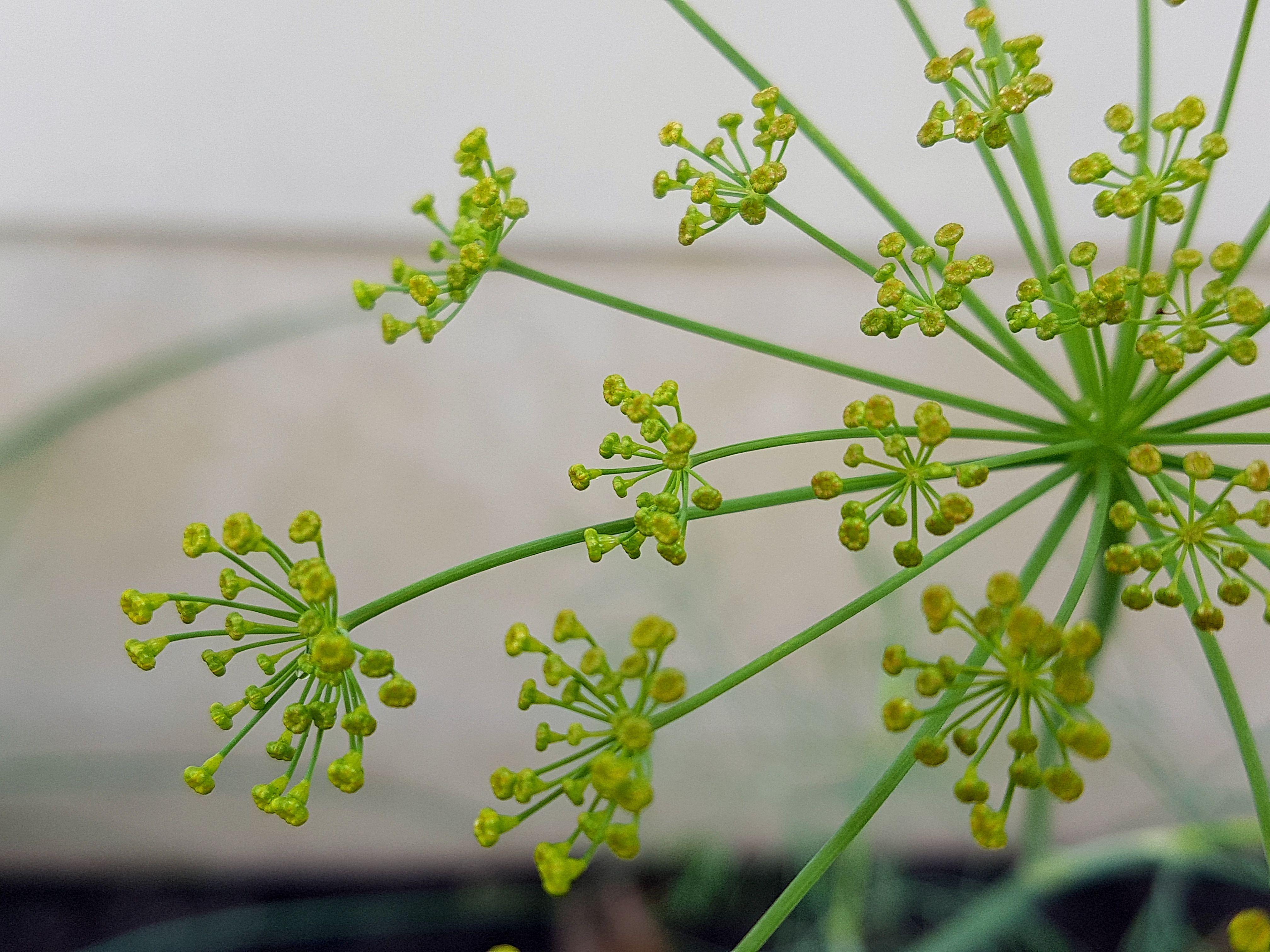 Fleur D Aneth Avec Images Fleurs Jardins Aneth
