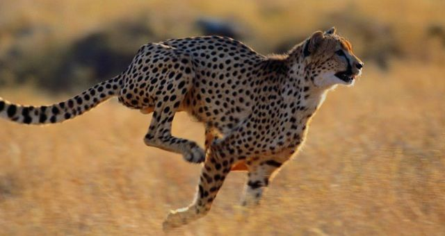 Cheetah Comes From The Hindi Word Chita Meaning Spotted Cheetah