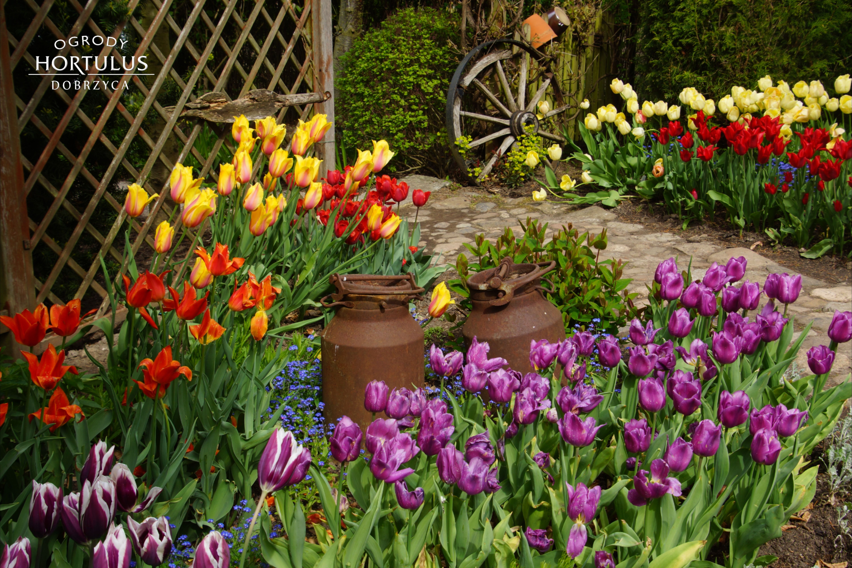 Ogrod Tulipanow Pole Tulipanow Kolorowe Tulipany Kolorowe Kwiaty Styl Wiejski Kanki Na Mleko Plants