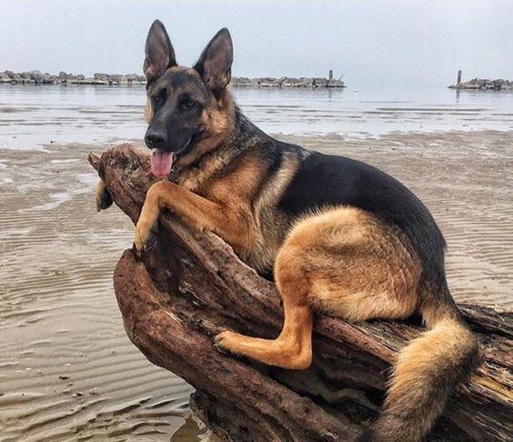 German Shepherds On Big Barker Dog Beds German Shepherd Dogs Shepherd Dog Breeds Dog Training