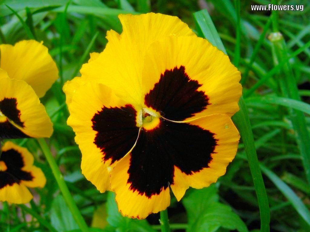 Pansy Pictures Of Black Yellow Pansy Flowers With Free