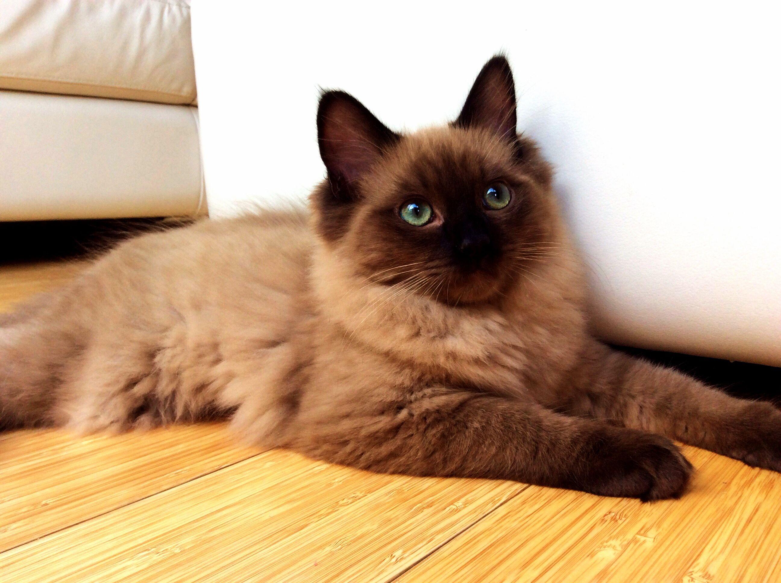 81515. ( Seal point mink Ragdoll.) My feline fluffy