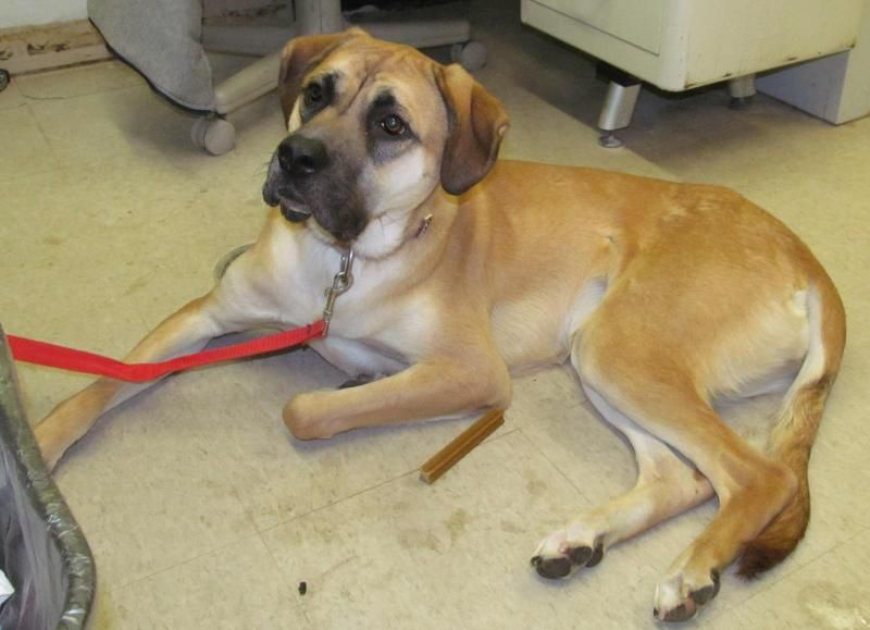 Adopt 29 Lucy/Adopted on Adoption, Great dane, Great