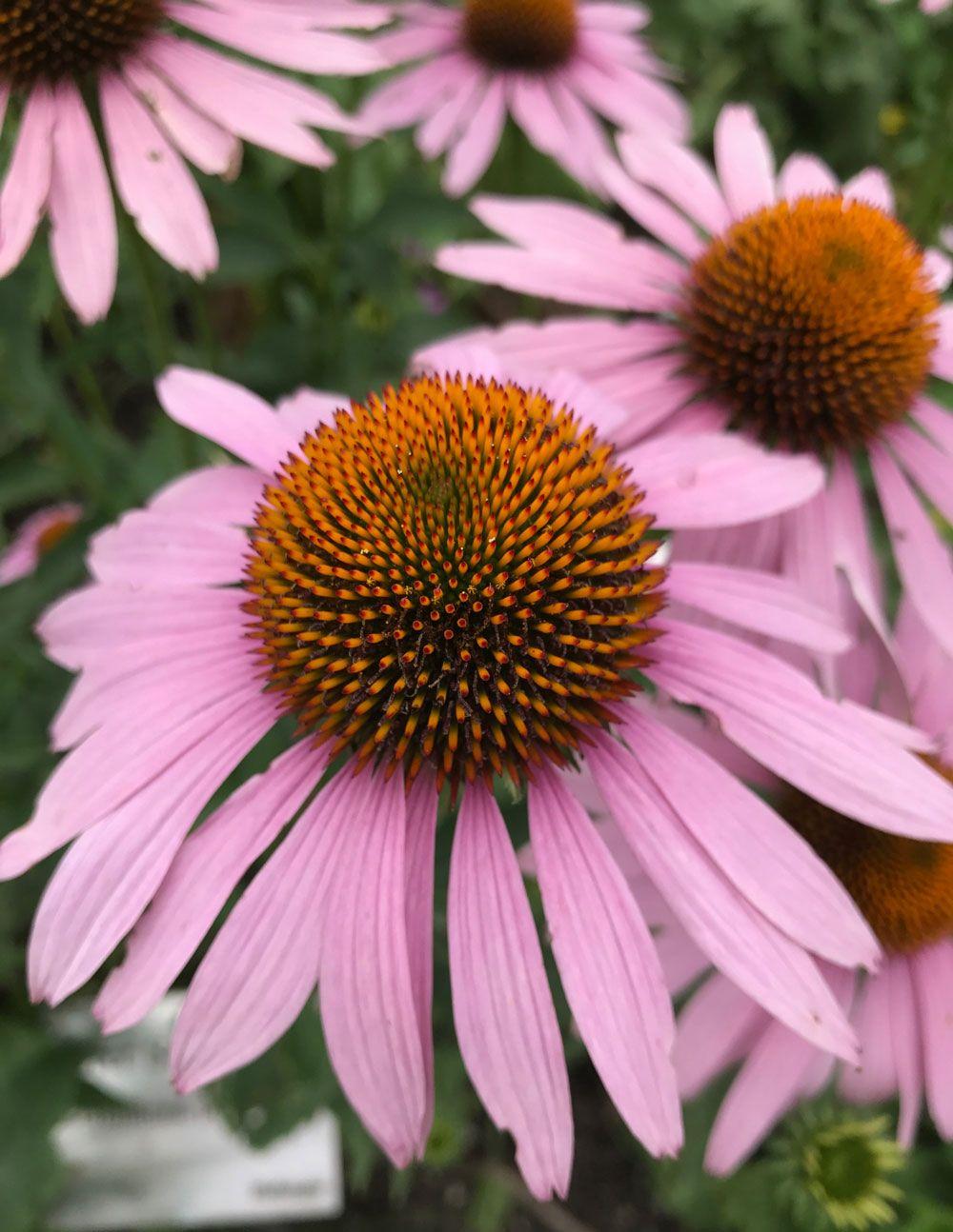 Echinacea! Gartenträume werden wahr  Naturpark Hofanger in Gstadt entdeckt!
