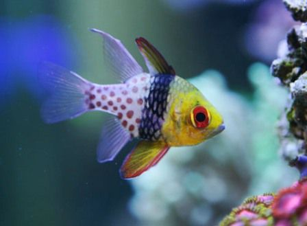 Pajama Cardinal Fish Saltwater Aquarium Fish Saltwater Fish Tanks