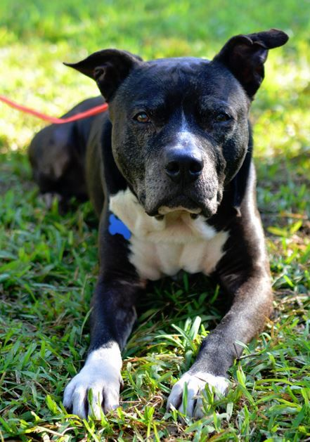 Pitbull Mix Dog For Adoption In North Miami Beach Florida Dogs Adoptions Central Dog Adoption Pitbulls Pet Taxi