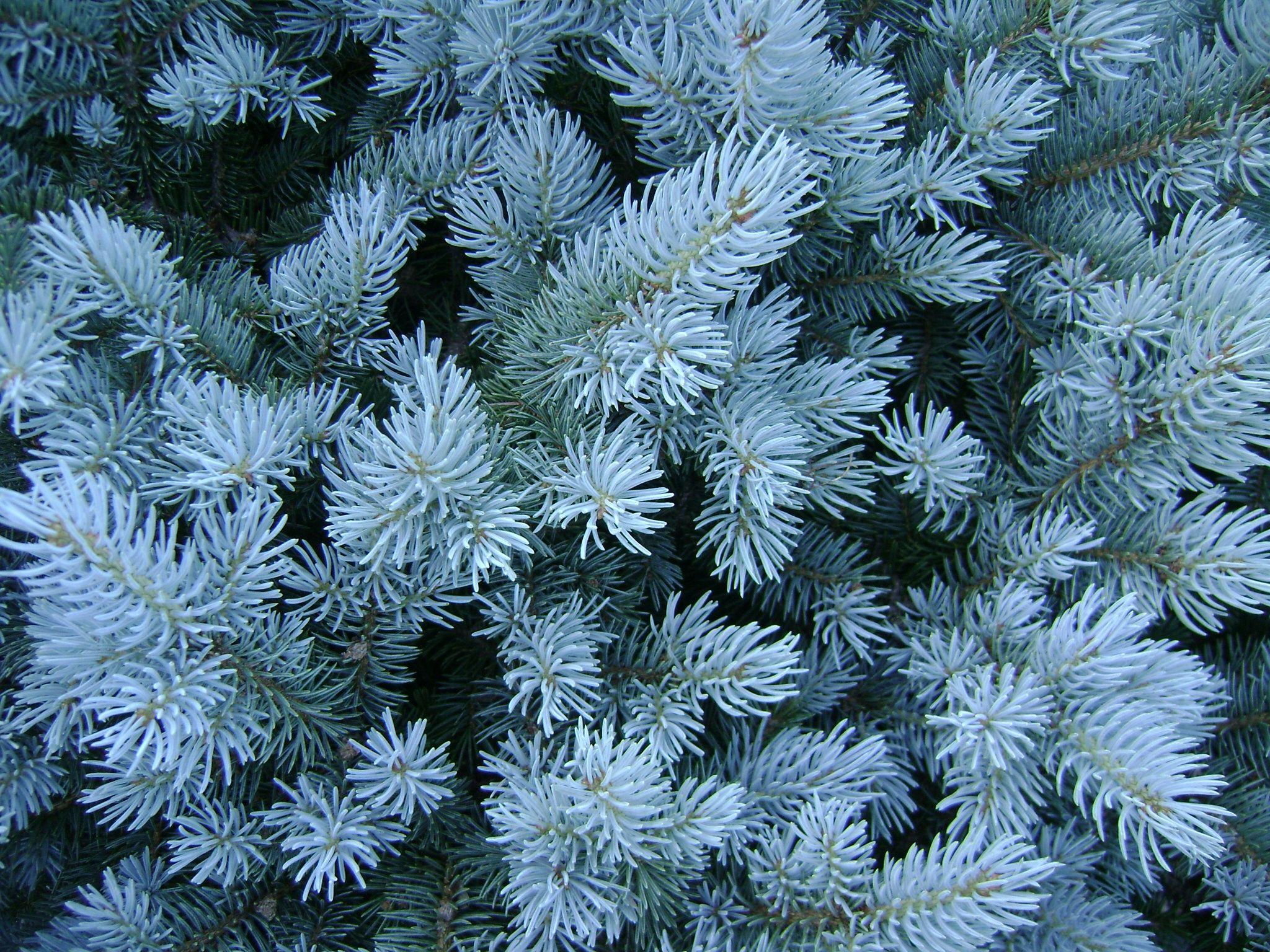 Picea Pungens Baby Blue Eyes Baby Blue Eyes Spruce Blue Spruce Landscape Shrubs