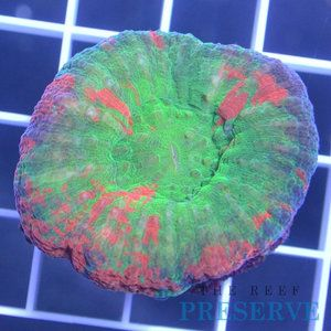Trp Live Corals Aussie Bleeding Apple Scolymia Scoly Coral The Reef Preserve Saucer Chairs Live Coral Coral