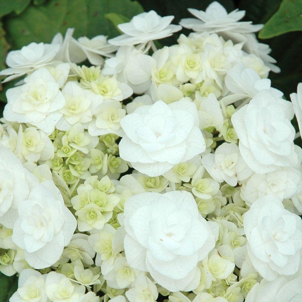 Hydrangea Macrophylla Wedding Gown White Hydrangea Plant Planting Hydrangeas Hydrangea Bouquet Wedding