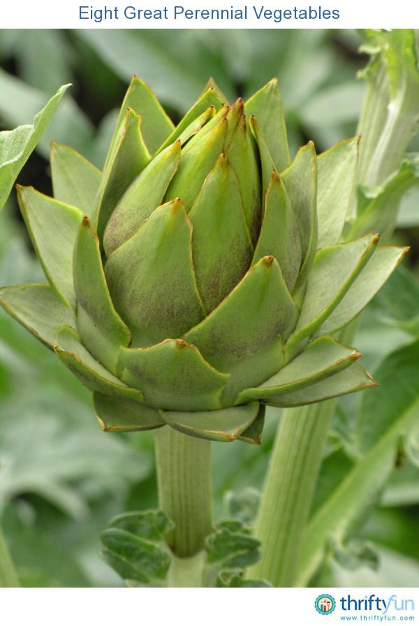 Perennial vegetables sometimes take a year or more to yield a first harvest, but the rewards are well worth your effort. Plant them once and you will have a reliable annual crop for years to come.