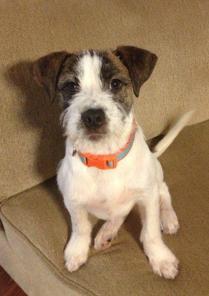 Ralph - an american staffordshire terrier, norwich terrier ...