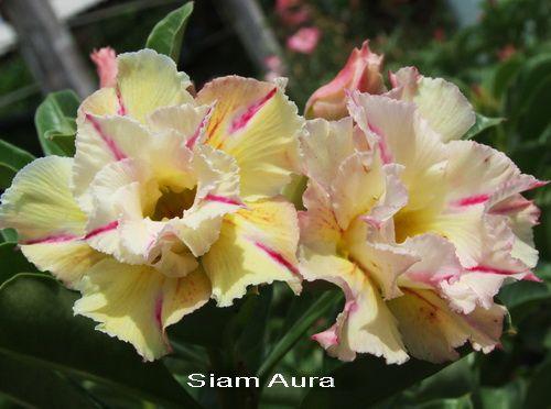 Plumeria Paradise Rose Seeds Adenium Flowers