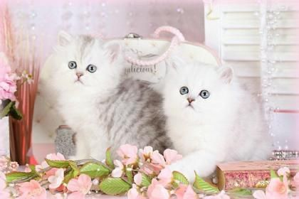 White Perssian Fluffy Kittens 137737 High Quality And