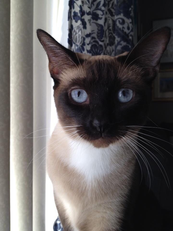 Siamese Cat With Images Siamese Cats Pretty Cats Cats And Kittens